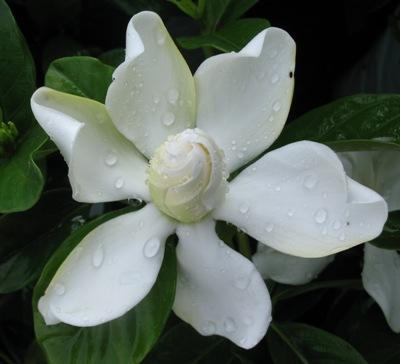 Gardenia 'Belmont' 20