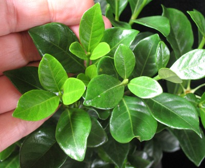Gardenia Kleim's Hardy 35