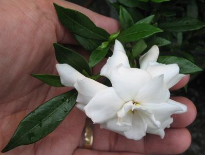 Gardenia radicans 20