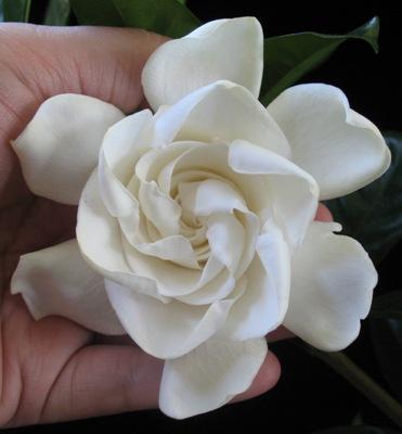 Gardenia sp. Australia 35