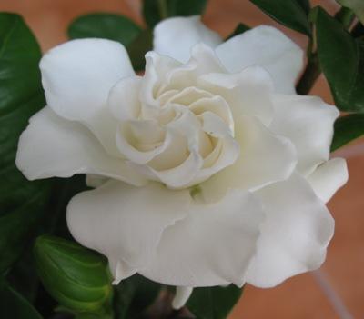 Gardenia sp.(T09) 20