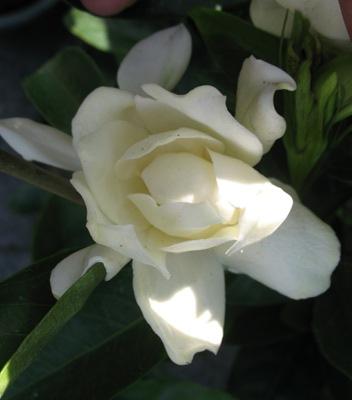 Gardenia sp.(T14) Taiwan 26
