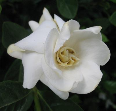 Gardenia sp.(T15) 23