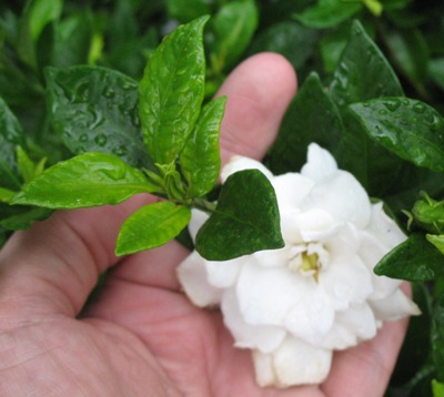 Gardenia sp.(T11) small leaf 20