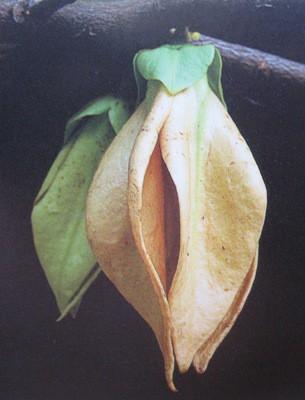 Goniothalamus laoticus 30