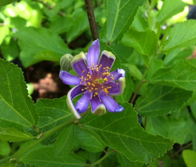 Grewia occidentalis (Lavender Star Flower) 18