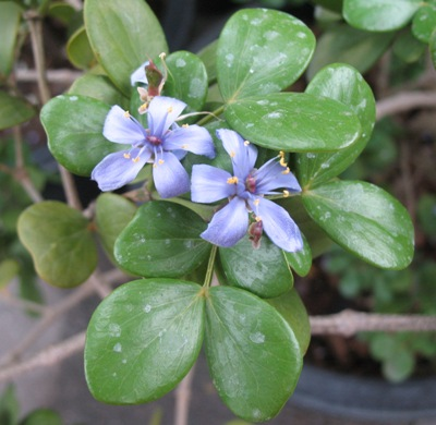 Guaiacum officinale Zygophyllaceae 30