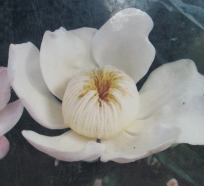 Gustavia gracillima (white flower) 35