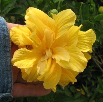 Hibiscus Jerry Smith 20