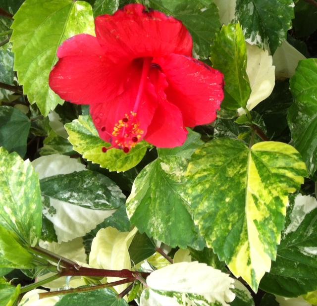 Hibiscus rosa-sinensis (yellow variegated) 30