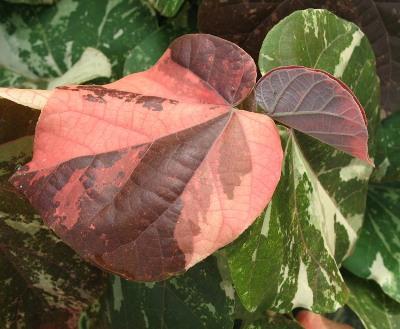 Hibiscus tiliaceus variegated Tricolor 20