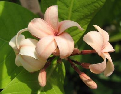 Holarrhena pubescens (pink flower) 35