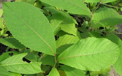 Homalium tomentosa Flacourtiaceae (Thailand) 26
