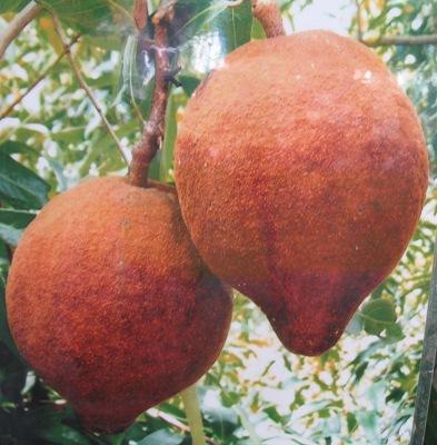 Hydnocarpus sumatrana Flacourtiaceae 35
