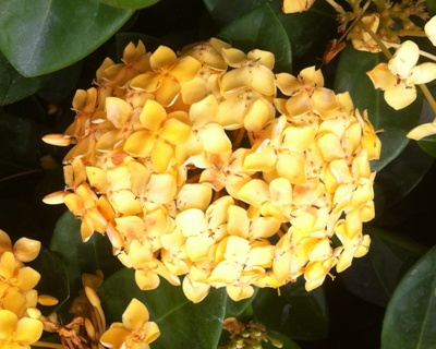 Ixora Bangkok Gold 24