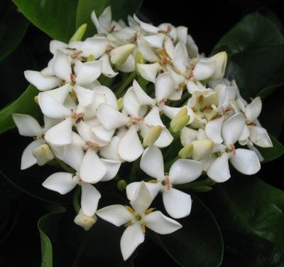 Ixora Bangkok White 24