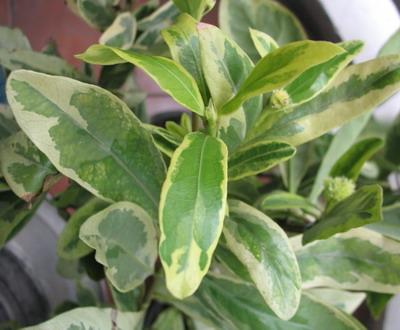 Ixora finlaysoniana albomarginata 35
