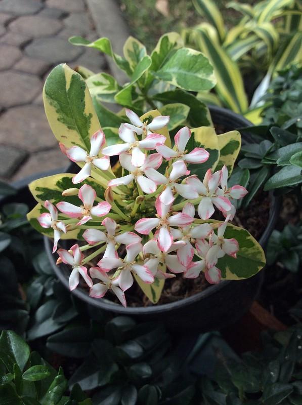 Ixora sp.(T02) albomarginata white flower (compact) 40