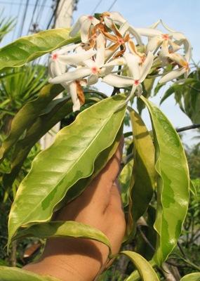 Ixora sp.(T04) albomarginata =Kopsia arborea variegated 40