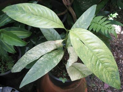 Ixora sp.(T32) variegated Chanthaburi Thailand 60