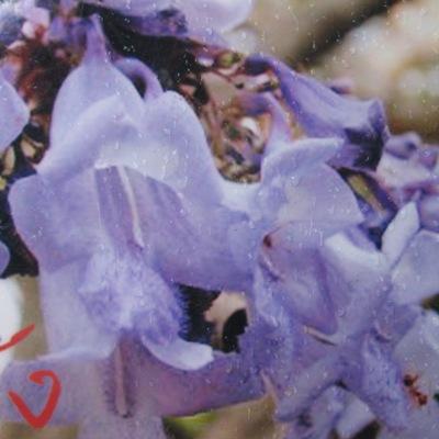Jacaranda filicifolia 30