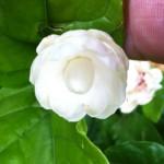 Jasminum Mali Chat (Vietnam)