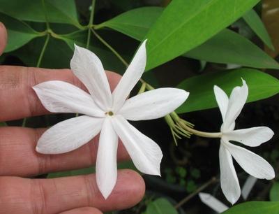 Jasminum Rex = J. nobile subsp rex 35