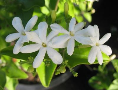 Jasminum auriculatum 23