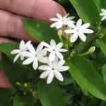Jasminum elongatum 30