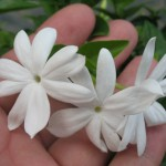 Jasminum multiflorum (small leaf) = Jasminum multiflorum Maluli Phum 20