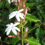 Jasminum multiflorum(red petal) 20