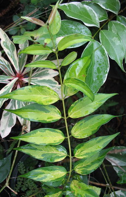 Jasminum nitidum variegata = J. laurifolium var. nitidum variegata 35