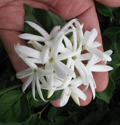 Jasminum pubescens 23