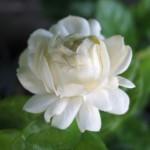 Jasminum sambac Mali Sorn = 'Duke of Tuscany'