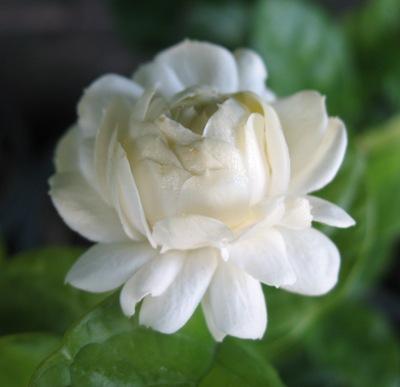 Jasminum sambac Mali Sorn = 'Duke of Tuscany' 12