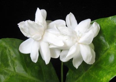 Jasminum sambac Mysore Mullii 12
