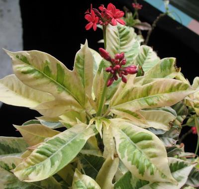Jatropha integerrima variegata 38