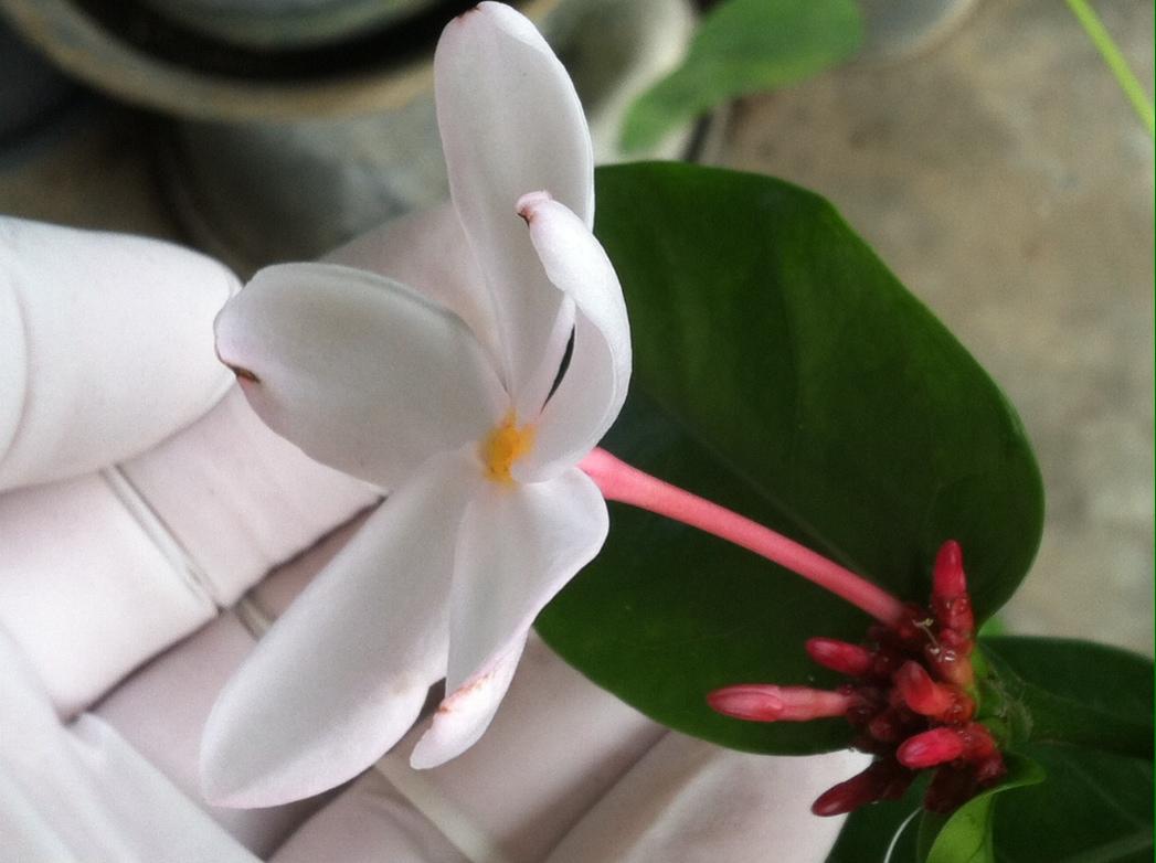 Kopsia pruniformis (pink petal) 30