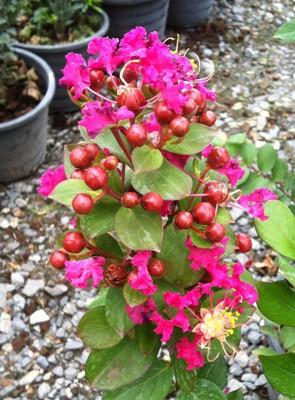 Lagerstroemia indica (Raspberry flower) 23