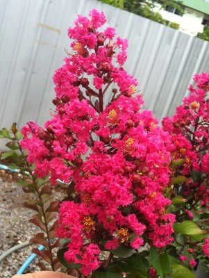 Lagerstroemia indica (Scarlet flower and black leaf) 30