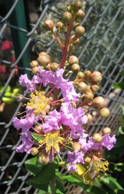 Lagerstroemia indica (purple flower)(EP) 23