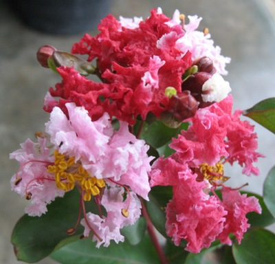 Lagerstroemia indica (red flower)(EP) 26