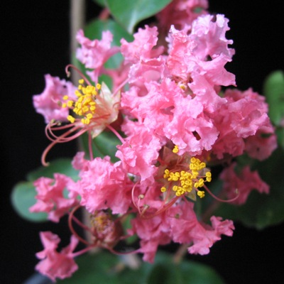 Lagerstroemia indica (soft pink flower)(EP) 26