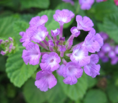 Lantana sellowiana (purple flower) 23
