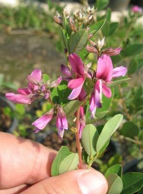 Lespedeza bicolor 20