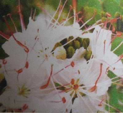 Lysiphyllum hookerrii