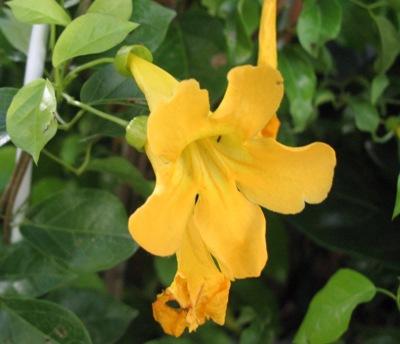 Macfadyena unguiscati (climbing) Bignoniaceae 30