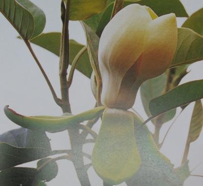 Magnolia delavayi 55