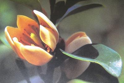 Magnolia figo 20