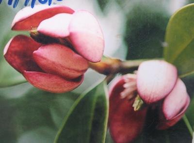 Magnolia figo(red flower) 32